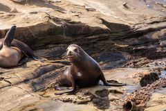 Young California sea lion Zalophus californianus pups. Playing on the rocks of La Jolla Cove in Southern California Royalty Free Stock Photos