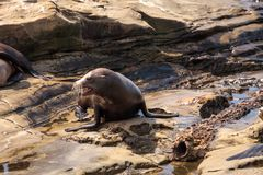 Young California sea lion Zalophus californianus pups. Playing on the rocks of La Jolla Cove in Southern California Royalty Free Stock Images
