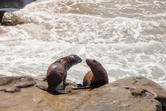 Young California sea lion Zalophus californianus pups. Playing on the rocks of La Jolla Cove in Southern California royalty free stock photo