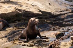 Young California sea lion Zalophus californianus pups. Playing on the rocks of La Jolla Cove in Southern California Stock Photography