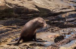 Young California sea lion Zalophus californianus pups. Playing on the rocks of La Jolla Cove in Southern California Stock Photos
