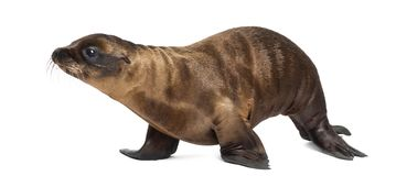 Young California Sea Lion, Zalophus californianus, walking, 3 mo Royalty Free Stock Photos