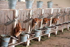Young calves. Young jersey calves waiting for their mothers that are being milked on a dairy farm Stock Image