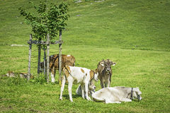 Young calves in meadow Stock Images