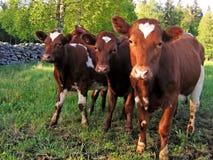 Young calves in the springtime. Stock Photos
