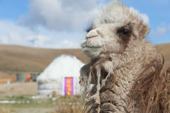 Young camel Royalty Free Stock Images