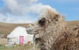 Young camel Stock Photos