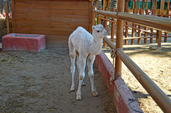 A Young Camel - Baby Born At Safari Park. A newly born camel at a farm in spain royalty free stock photography