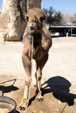 Young camel Stock Image