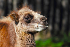 Young camel in zoo Stock Photos