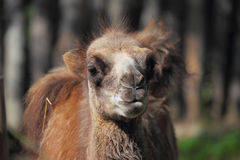 Young camel in zoo Royalty Free Stock Image