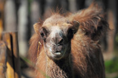 Young camel in zoo Stock Photography