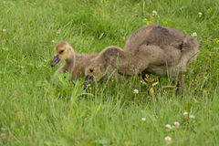 Young Canada Geese Royalty Free Stock Photos