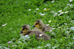 Young Canada Geese Royalty Free Stock Photography