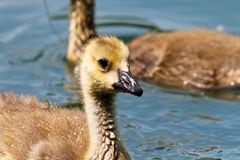 Young Canada Goose Royalty Free Stock Image