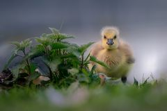 Young Canada Gosling Pauses From Feeding stock photos