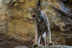 Young Canada lynx standing staring down from rocky ledge. With rock cliff in the background Royalty Free Stock Photos