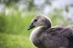 Young Canadian chick geese sitting near a lake royalty free stock photo