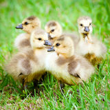 Young Canadian goslings. Royalty Free Stock Image