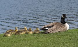 Young goslings resting by the water while mother watches. stock photos