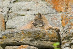 Young Canadian Lynx. On A Rock Ledge Stock Images