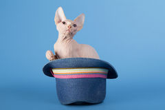 Young canadian sphinx cat Royalty Free Stock Photos