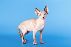 Young canadian sphinx cat Stock Image