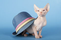 Young canadian sphinx cat Royalty Free Stock Image