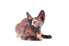 Young canadian sphinx cat Royalty Free Stock Photo
