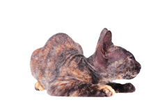 Young canadian sphinx cat Stock Images