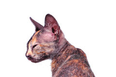 Young canadian sphinx cat Stock Photography