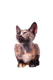 Young canadian sphinx cat Royalty Free Stock Images