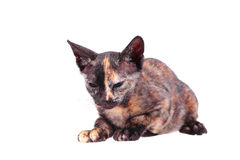 Young canadian sphinx cat Royalty Free Stock Photography