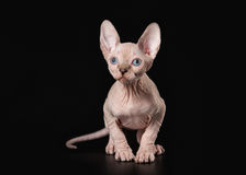 Young Canadian sphynx on black background Royalty Free Stock Images