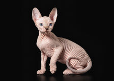Young Canadian sphynx on black background Royalty Free Stock Photography