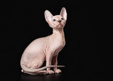 Young Canadian sphynx on black background Royalty Free Stock Image