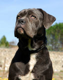 Young cane corso. Beautiful purebred young cane corso in a town Stock Images
