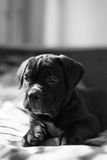 Young Cane Corso breed puppy Royalty Free Stock Image
