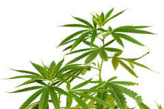Young cannabis plant marijuana plant detail on white background Stock Image