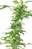 Young cannabis plant, marijuana Royalty Free Stock Photos