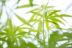 Young cannabis plant, marijuana Stock Images