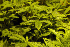 Young cannabis plants Royalty Free Stock Photo