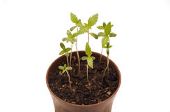 Young Cannabis Plants Stock Images