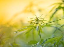 Young cannabis plants. Young cannabis plants marijuana close-up stock photos