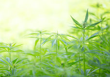 Young cannabis plants. Stock Photography