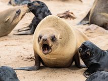 Young Cape Fur Seal at Cape Cross Seal Reserve, Skeleton Coast, Namibia, Africa.  stock photography