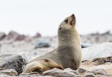 Young Cape Fur Seal at Cape Cross Seal Reserve, Skeleton Coast, Namibia, Africa.  royalty free stock image