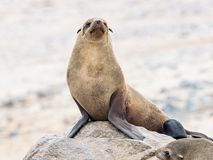Young Cape Fur Seal at Cape Cross Seal Reserve, Skeleton Coast, Namibia, Africa.  stock image