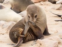 Young Cape Fur Seal at Cape Cross Seal Reserve, Skeleton Coast, Namibia, Africa.  stock images