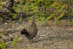 Young capercaillie Royalty Free Stock Photography